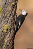 White-headed Woodpecker,Cabin Lake,Oregon