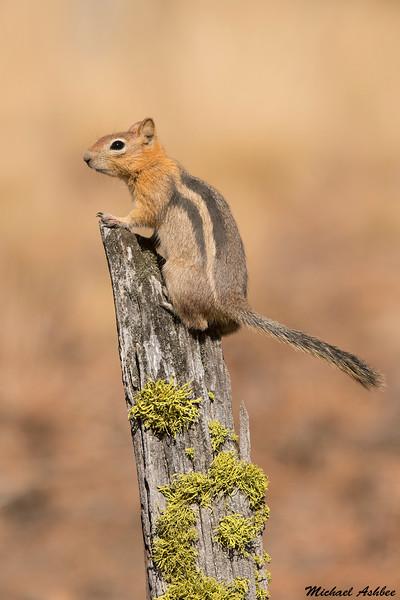 Golden mantled ground squirrel,Cabin lake,Oregon