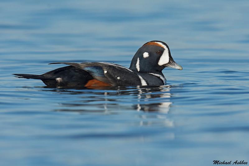 Harlequin Duck,Victoria,B.C.