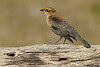 Rusty Blackbird,Esquimalt,B.C.