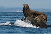 California Sealion,Race rocks,Victoria