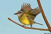 Tropical Kingbird,Sooke,B.C.