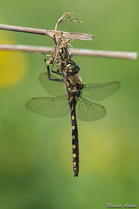 Yellow-spotted Dragonfly