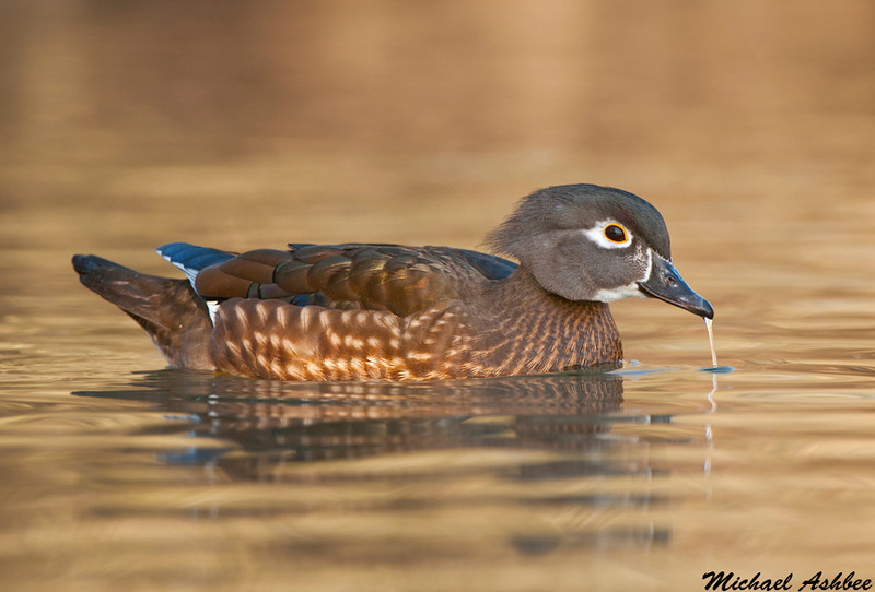 Wood Duck,Vancouver(British Columbia)