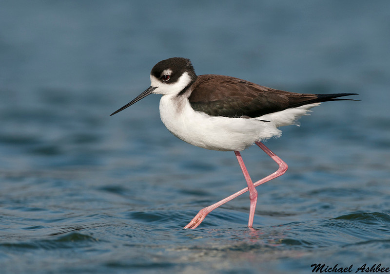 Black necked Stilt, Palo Alto(California)