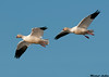Ross's Goose, Colusa wildlife refuge (California)