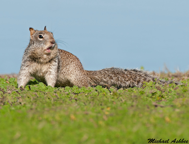 California ground squirrel, Sacramento wildlife refuge
