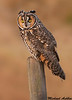 Long eared owl, Boundary bay (British columbia)