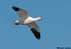 Ross's Goose, Colusa wildlife refuge (California)