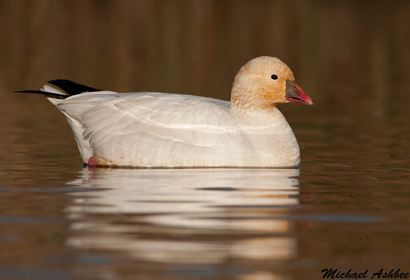 Ross's Goose, Colusa wildlife refuge (California