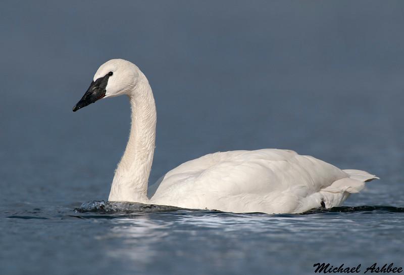 Trumpeter Swan,Victoria(British Columbia)