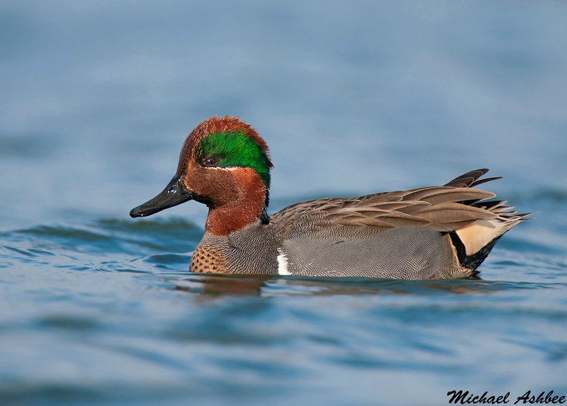 Green winged Teal, Palo Alto (California)