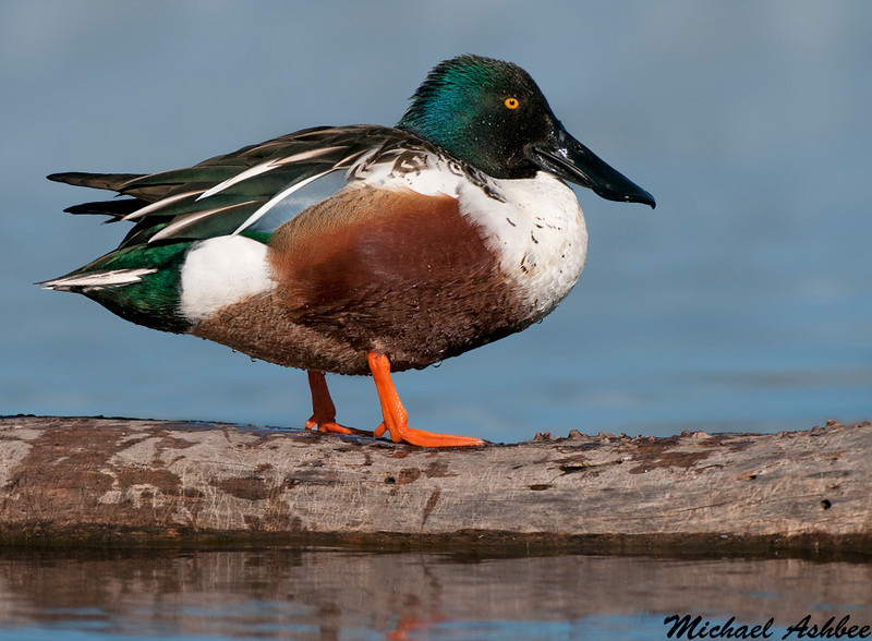 Northern Shoveler, Colusa wildlife refuge(California)