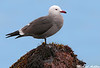 Heermans Gull, Pebble beach (California)