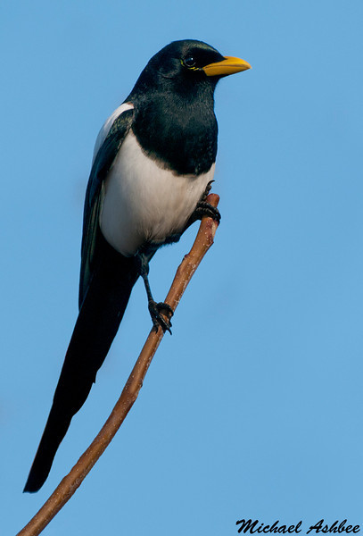 Yellow billed magpie,Anderson(California)