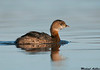 Pied billed Grebe,Colusa wildlife refuge (California)