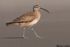 Whimbrel, Moss landing(California)