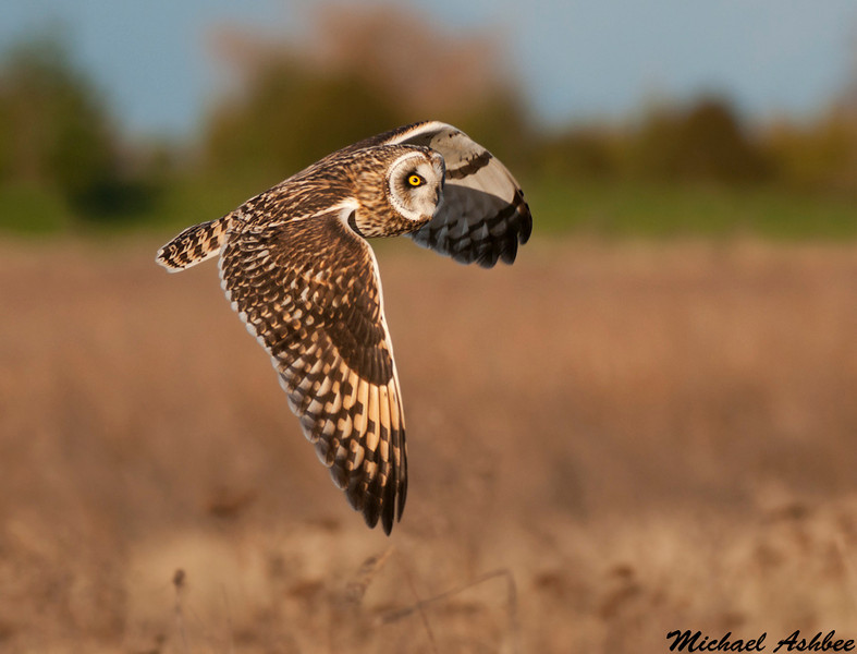 Short eared owl, Boundary bay (British columbia)