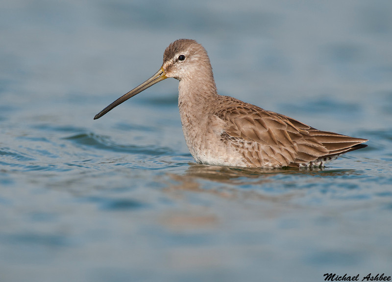 Long billed Dowitcher, Palo Alto (California)