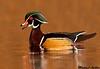 Wood duck, Victoria(British columbia)