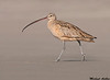 Long billed curlew, Moss landing (California)