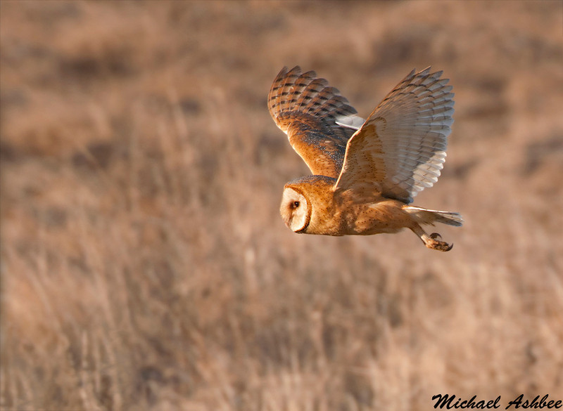 Barn Owl, Boundary bay (British columbia)