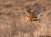 Barn Owl, Boundary bay (British columbia)