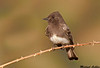 Black Phoebe, Anderson (California)