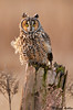 Long eared owl, Boundary bay (British columbia)