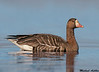 Greater white fronted goose,Colusa wildlife refuge (California)