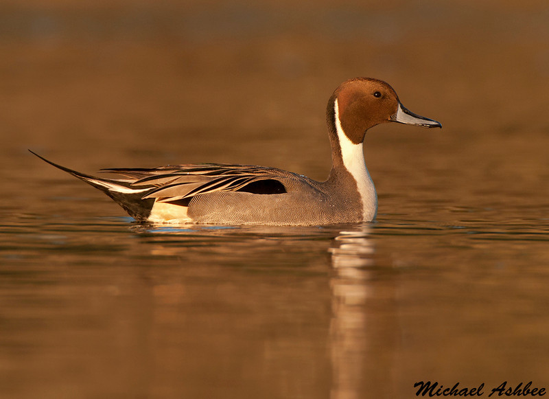 Northern Pintail,Victoria(British Columbia)
