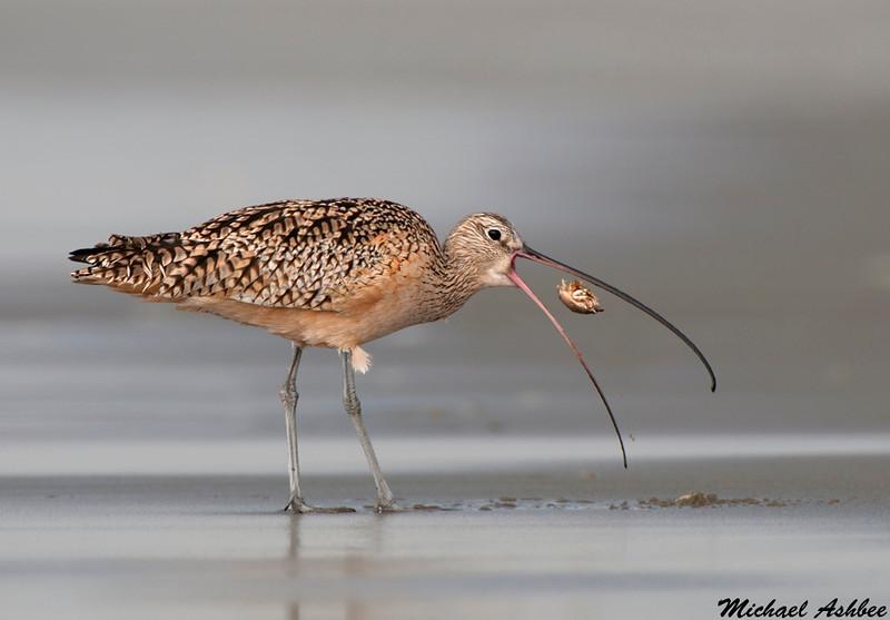 Long billed Curlew,Moss landing(California)