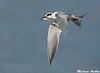 Forester's Tern, Moss landing(California)