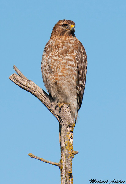 Red shouldered Hawk, Sacramento wildlife refuge