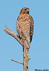 Red shouldered Hawk, Sacramento wildlife refuge