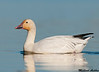 Snow goose, Colusa wildlife refuge (California)
