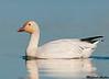 Snow goose, Colusa wildlife refuge (California)