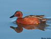 Cinnamon Teal, Colusa wildlife refuge (California)