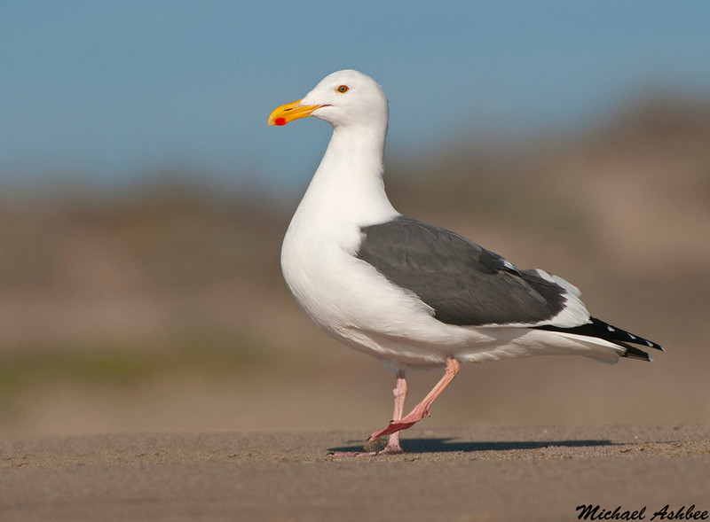 Western Gull, Moss landing(California)