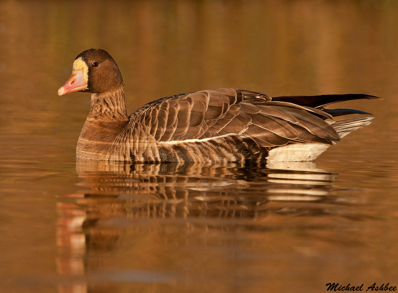 Greater white fronted goose,Colusa wildlife refuge (California)