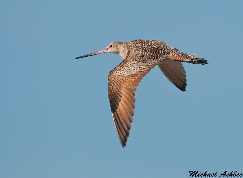 Marbled Godwit,Moss landing(California)