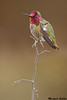 Anna's Hummingbird, Palo Alto(California)