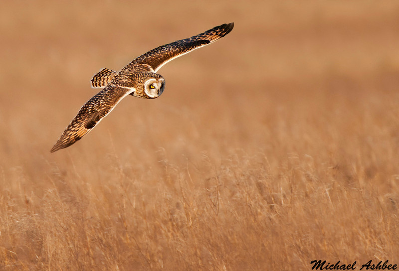 Short eared owl, Boundary bay (British columbia)