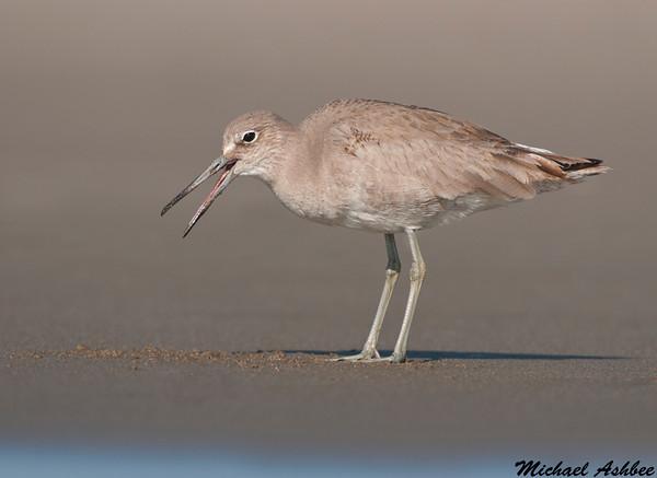Willet,Moss landing(California)