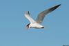 Caspian Tern,Ocean shores,WA
