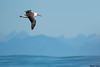 Laysan Albatross,Tofino,B.C.