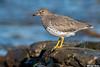 Surfbird,Victoria,B.C.