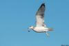 California Gull,Ocean Shores,WA