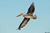 Brown Pelican,Westport,WA