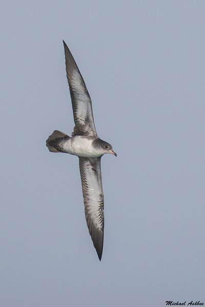 Pink-footed Shearwater,Tofino,B.C.